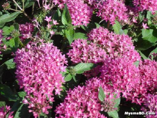 ফুল - পেন্টাস (Pentas lanceolata)
