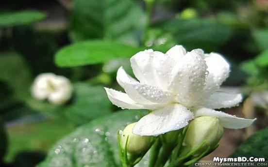 ফুল - বেলী (Jasminum sambac)