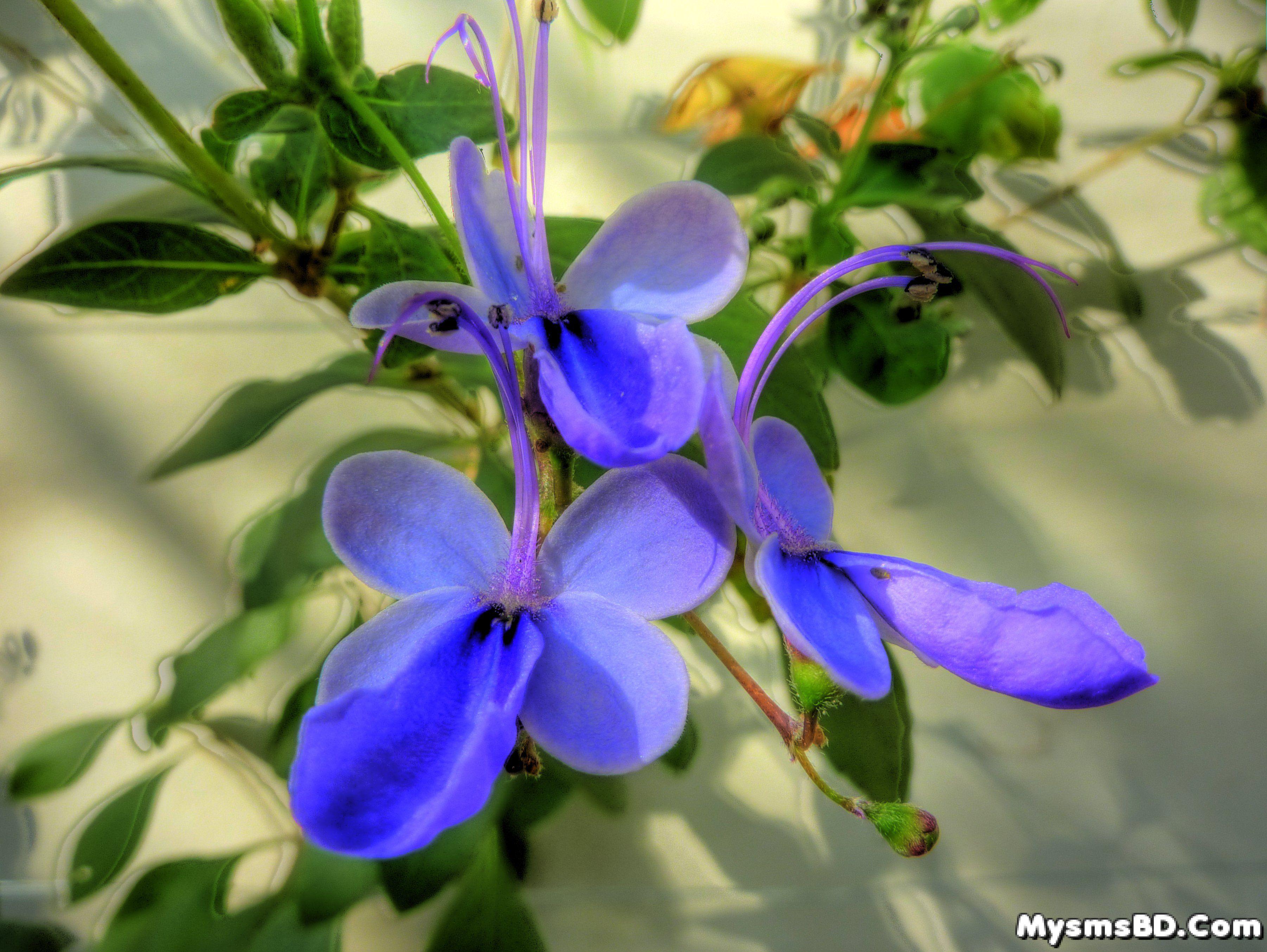 ফুল - নীল প্রজাপতি (Clerodendrum ugandense)