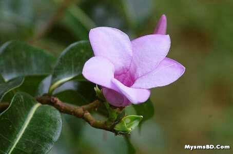 ফুল - Rubber vine (Cryptostegia grandiflora)