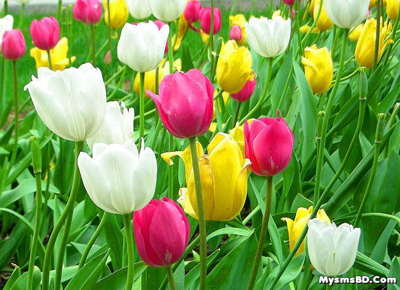 ফুল পরিচিতি - টিউলিপ (Tulipa)
