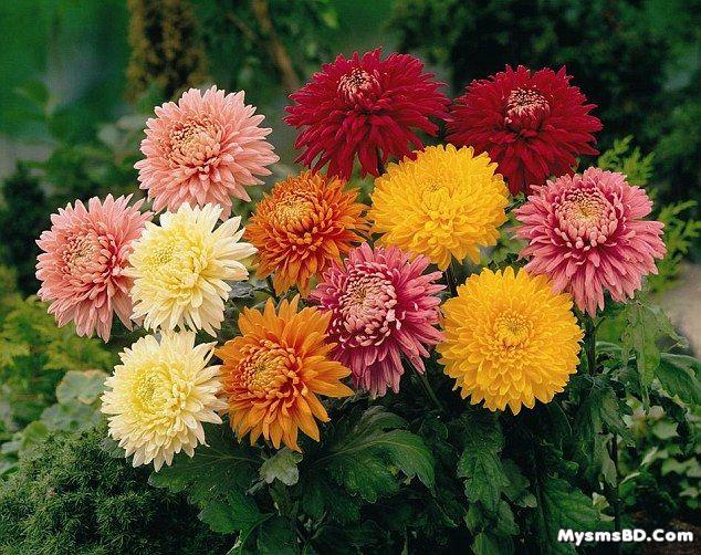 ফুল পরিচিতি - চন্দ্রমল্লিকা (Chrysanthemum)