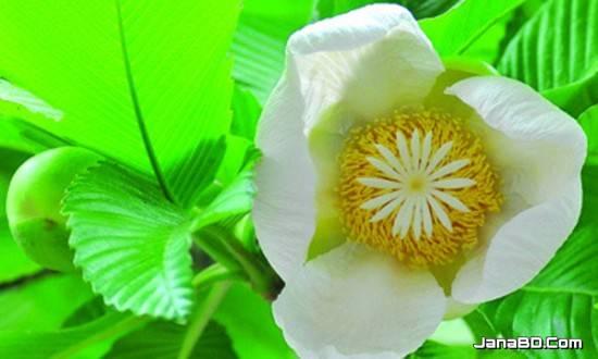 ফুল পরিচিতি - চালতা (Dillenia indica)